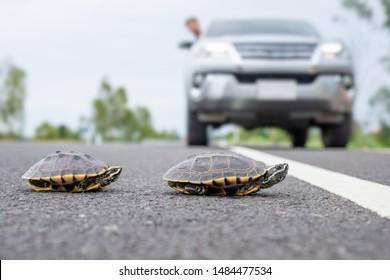 Nahaufnahme einer Schildkröte, die die Straße überquert. Der Fahrer hält das Auto an, um die Schildkröte auf der Straße laufen zu lassen. Sicherheit und vorsichtiges Fahrkonzept