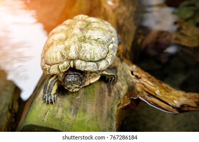 Close up of a turtle resting on dry log, selective focus.