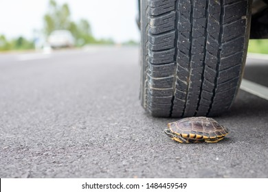 Close up turtle under the car. Wheel of car almost to tread a turtle on the road. Safety and be careful driving concept
