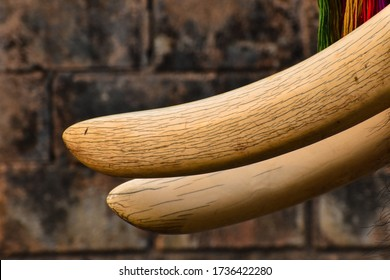 Close up tusks of an elephant. 			Tusks texture.