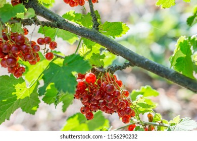 Close up of a twig of ripe currant. Bocke background. Shallow depth of focus. Concept agro culture.