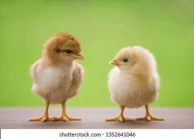 Close up twin of little chickens friend between brown and yellow color on green or natural background and on wood floor, Both of chicks