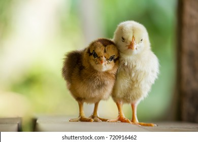 Close up twin of little chickens friend between brown and yellow color on green or natural background and on wood floor, Both of chicks, Newborn of chickens on wooden nest for business and trader