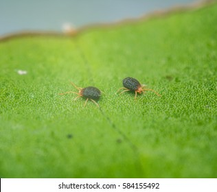 Close up of two adult clover mites on a leaf. Bryobia praetiosa