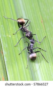 Close up of two ants communicating