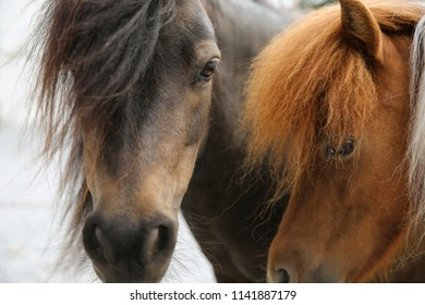 Close up of two beautiful Shetland ponies, Gotland Sweden.