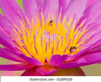 close up of two bee on lotus