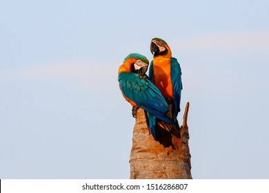 Close up of two Blue-and-yellow macaws sitting on a palm tree stump, one upright, one turning head for cleaning, against bright blue sky, Amazonia, San Jose do Rio Claro, Mato Grosso, Brazil