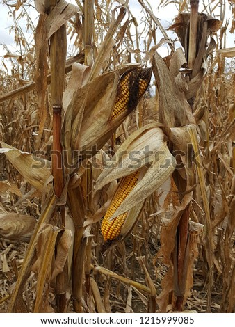 Close up of two bright yellow ears of corn on a corn stalk in a corn field showing the husk and silk.