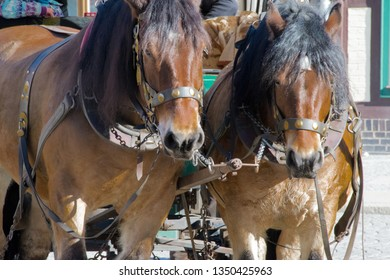 Close up of two brown horses with a carriage, waiting for departure through the city centre of Wernigerode, Harz, Germany