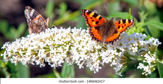 "Close up of two butterflies sitting on a white flower. The ""Buddleja Davidii"" and the""Vanessa Atalanta"". Image shot during summer in Friesland, The Netherlands."