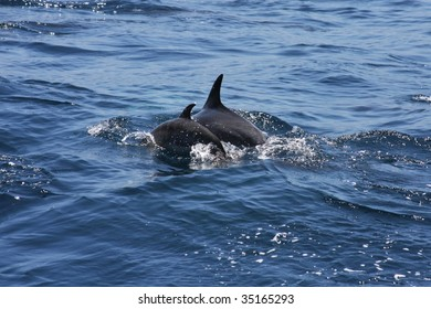 Close up of two common dolphins swimming in the ocean with fins showing