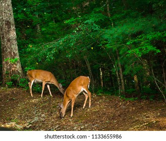 Close up of two deer eating together in Blue Ridge, Georgia on a tree line