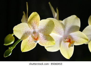 Close up of two flower of yellow orchid with black background. Yellow orchid