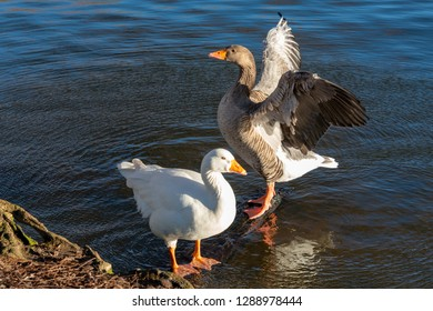 close up of two geese with one goose with outstretched angel wing