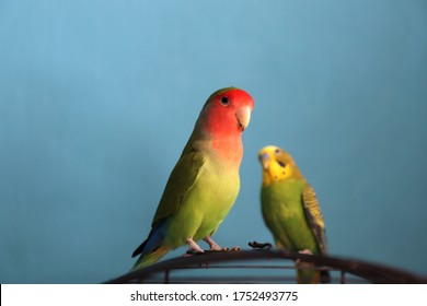 A close up of two green parrots - budgie and rosy-faced lovebird, selective focus. Friendship between a parrots of different species