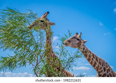 close up of two griaffe eating