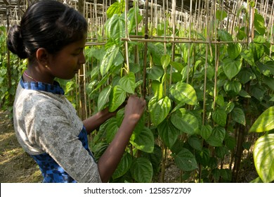 Close up of two hands  of a girl tying the vines of a betel leaf plant, piper betle in a betel farm with beautiful green betel leaves in daylight and blur background