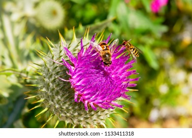 Close up of two Hoverflies collecting pollen from the flowerhead of a Purple Bull Thistle.