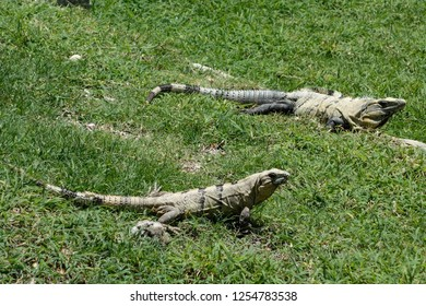 Close up of two iguanas resting on the sun in the archaeological zone of Chichen Itza. Yucatan. Mexico. Grasss background.