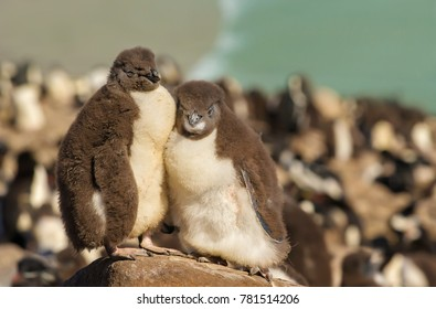 Close up of two juvenile rockhopper penguins standing on a stone in the penguin colony on the shoreline of Falkland islands. Panoramic Falkland nature view.
