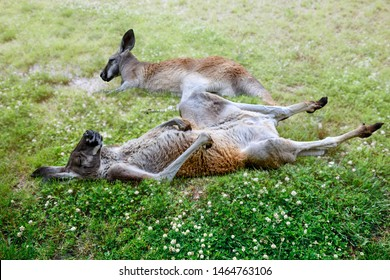 Close up two kangaroos relaxing lying on the grass in the sun, sleeping on the job