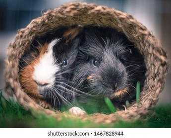 A close up of two male guinea pigs