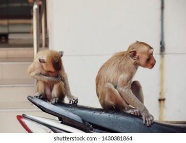 close up two monkey sitting on bike,misbehave monkey