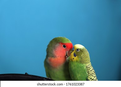 A close up of two parrots - budgie and rosy-faced lovebird. Moment of tenderness between a pair of parrots of different species