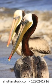 close up of two pelicans with long bill standing waiting for fish in the water at the beach