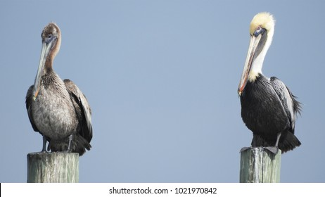 Close up of two pelicans on stoops