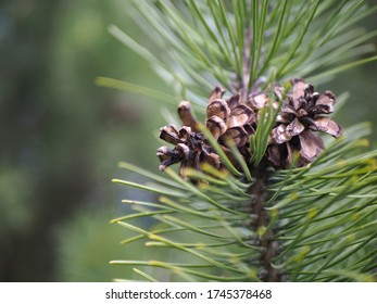 Close up of two pine cones
