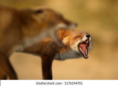 Close up of two red foxes fighting each other.