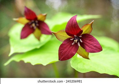 A close up of two red Trilliums in a forest in Muskoka, Ontario Canada during the spring season.