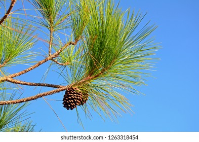 Close up of two slash pine tree (Pinus elliottii) pine cones hanging from knobby brown branch with long green needles in bright sun against a clear blue sky. Beautiful background with room for copy.