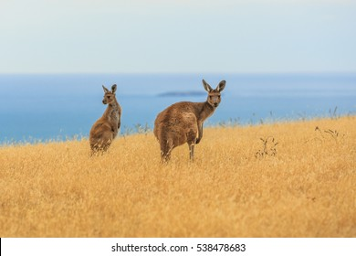 Close up of two Western grey kangaroos on a mountainside along Backstairs Passage in the Deep Creek Conservation Park on the Fleurieu Peninsula, South Australia against a blue sky