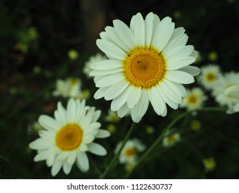 Close up of two white daisies