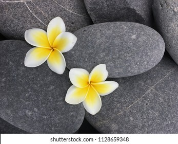 Close up two White frangipani flowers on gray pebbles