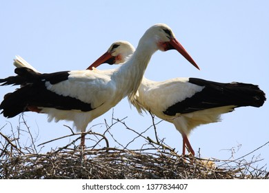 Close up of two white storks (ciconia ciconia) in a nest on a tree looking in different directions with crossed necks. Brabant, Netherlands.