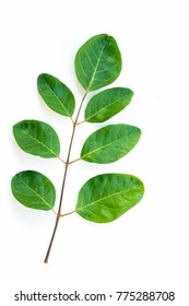 Close u p Moringa leaves on a white background.