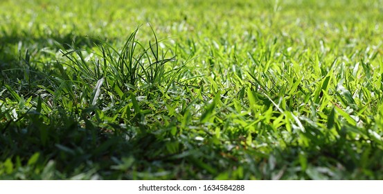 Close up uncut tall grass in garden under tree shadow in daytime, Green natural background, Widescreen wallpaper