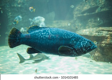 Close up under water photo of a Brindle bass