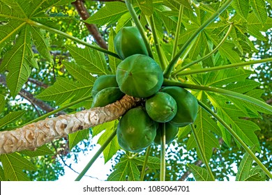 Close up underview of bunch of natural green pawpaw fruit and patterned leaves background