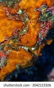 Gros plan sur l'image sous-marine du visage d'une orange vif, d'un camouflage, de la méduse de Commerson ou du poisson-porteuse géant, Antennarius commerson