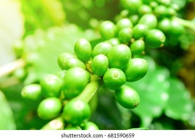 Close up Unripe coffee beans on coffee tree, business plants, Arabica coffee in northern of Thailand.