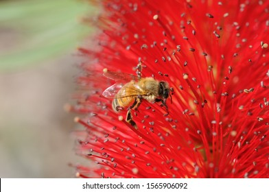 Close uo of a bee on an Australian bottle brush. Zooming reveals pollen on its wings, an important reminder of the critical function that bees have in our ecosystems and economy. Zoom in for detail.