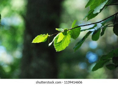 Close uo of sunny beech leaves on a dark blurred  forrest background