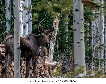 Close up, adolescent male moose in Colorado