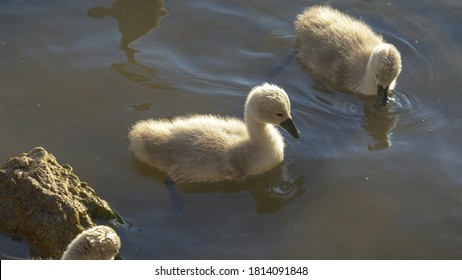 CLOSE UP: Adorable shot of a group of tiny grey swan chicks swimming in the murky pond water and feeding on a sunny summer evening. Fluffy little gray cygnets feed in the refreshing cold lake water.