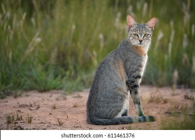 Close up, African Wildcat, Felis silvestris lybica on red sand of Kalahari against green long grass in background, staring directly at camera. Wildlife photography,  Kalahari desert,  South Africa.